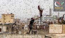 صورة أسراب الجراد قادمة من اليمن تغزو السعودية