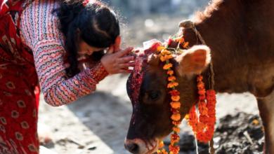 صورة اذا كان مليار هندي يعبدون البقر كيف تستغرب من الف بونادم يتابع زيط زيط او ولد امه او خنزير باريس ؟؟؟